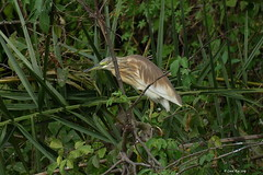 1.02109 Crabier chevelu / Ardeola ralloides / Squacco Heron (Laval Roy) Tags: afrique africa uganda crabier ardéidés squaccoheron crabierchevelu pélicaniformes oiseaux birds aves lavalroy