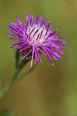 Knapweed (pstenzel71) Tags: blumen natur pflanzen knapweed wiesenflockenblume flockenblume centaureajacea darktable flower bokeh