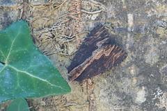 Bird's Wing / Noctuelle Hérissée (Dr Wood's Wildlife Photos) Tags: birdswing noctuellehérissée dypterygiascabriuscula trauereule vogelwiekje syrefly brunsvartsyrefly mørkskræppeugle tervayökkönen 2301 moth noctuidae