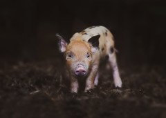 This Little Piggy (janinelee66) Tags: piglet pig baby cute pink sentientbeing clever animal spots muck notmybreakfast