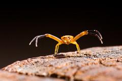 Free Hugs (csaciccio) Tags: thomisus onustus thomisidae spider ragno granchio crab macro dreams free hugs macrodreams