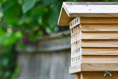 Cleared to land (immaculate-photons) Tags: summer wildlife fauna bees wooden garden english united kingdom nature nikon d500 tamron 70300
