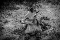 Close to nature (ab0110) Tags: bw sw fox chernobyl wildlife travel close up wild ukraine radioactive
