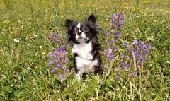 Flower dog ... (Photostreamkatwijk) Tags: chihuahua slangenkruid duinen buitenfotografie hondenfotografie katwijk flower dog pose snakeherb outdoor outdoorphotography animalphotography animal