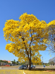 IPE AMARELO - BRASILIA-DF - BRASIL (isaque_almeida...........registrando momentos) Tags: