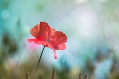 """I'm looking to the sky to save me"" (Joe Effendi (Always Late!)) Tags: effendi fujix xt10 macro closeup nature natuur flora flower bloem poppy klaproos doubleexposure pentaconav80mmf28 adaptedlens projectorlens projectionlens depthoffield bokeh july juli outdoor 2019"