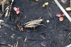 Tetrix undulata (lloyd177) Tags: holmsley new forest hampshire tetrix undulata common groundhopper