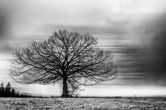The Runaway Tree... (Ody on the mount) Tags: abstrakt anlässe bäume em5ii fototour hdr himmel landschaft mzuiko2518 omd olympus pflanzen schwäbischealb silhouette wolken abstract bw blackandwhite clouds landscape monochrome sw savingtheclimatebytrees schwarzweis sky trees metzingen badenwürttemberg deutschland