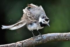 bergeronnette grise juvénile 19D_6440 (Bernard Fabbro) Tags: bergeronnette grise juvénile common bulbuloiseau bird