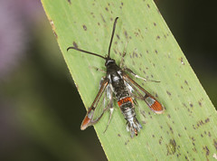Photo of Red-tipped Clearwing Moth - Synanthedon formicaeformis