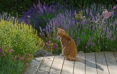Here is Walter! (RdeUppsala) Tags: cat katt gato garden jardín trädgård plantas plants ricardofeinstein uppsala sverige suecia sweden summer sommar verano