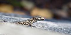 S'en lécher les babines ... (Phil du Valois) Tags: lézarddesmurailles lézard pierreglissoire faune sauvage libre wild wildlife free lizard reptile saurien podarcis muralis