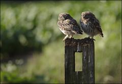 Little Owls (Craig 2112) Tags: little owl owls athenenoctua yorkshire wild bird prey