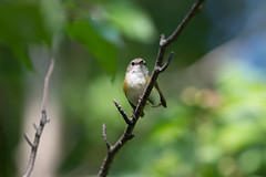 Female American Redstart (Laura Erickson) Tags: americanredstart stlouiscounty westernwaterfronttrail birds duluth parulidae passeriformes species places minnesota indianpoint setophagaruticilla