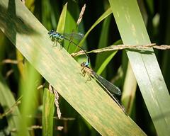 Blue-tailed Damsel (mickmassie) Tags: hamptoncourtpark homepark lnhs lnhsecologyentomology