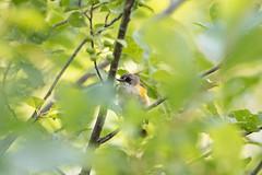 Second-year male American Redstart (Laura Erickson) Tags: americanredstart stlouiscounty westernwaterfronttrail birds duluth parulidae passeriformes species places minnesota indianpoint setophagaruticilla