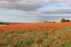 The Red Carpet (R.K.C. Photography) Tags: theredcarpet poppy poppies flowers field royston hertfordshire cambridgeshire landscape clouds unitedkingdom uk canoneos750d