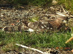 Cooper's Juvenile...watched by mom (EastLadner) Tags: young coopers hawk possibly injured north40 20190722 rogers iona 201931 dncb