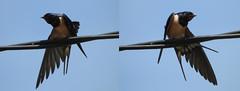 Stretching (Faapuroa) Tags: stretching étirement aile wing swallow hirondelle oiseau bird fil nikon p1ooo coolpix wire élégance élégante elegance