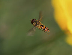 Hoverfly (Harleycy3) Tags: upclose flight hoverfly orange movement insects yellow flower bugs
