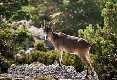 En su Hábitat (candi...) Tags: cabra bosque montaña naturaleza nature sonya77ii rumiante fauna airelibre parcnaturalelsports