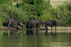 Namibia Botsuana selfdrive 2018 (C_Baltrusch) Tags: 4x4 africa afrika baltrusch botsuana botswana buffalo büffel chobe christian namibia pixelloop safari selfdrive southafrica südafrika