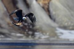 EagleFlightFood1 (2)Small (Rich Mayer Photography) Tags: eagle eagles bird birds nature fly flying flight avian raptor raptors wild life wildlife nikon