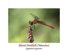 Insektenmakro (ernst.ruhe) Tags: insektenmakro insecta insekten libelle odulata grosslibellen segellibellen blutroteheidelibelle sympetrumsanguineum libellulidae libellulida