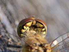 Voyage à dos de libellule - riding a dragonfly (POV) (pierre.pruvot2) Tags: dragonfly libellule odonate arthropode insecte lumixg9 panasonic olympus60mmmacro france pasdecalais maraisdeguînes chemindestêtards pov