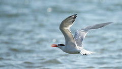 Royal Tern (Rez Mole) Tags: royal tern thalasseusmaximus