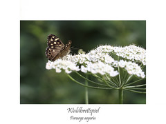 Insektenmakro (ernst.ruhe) Tags: waldbrettspiel parargeaegeria schmetterlinge lepidoptera falter tagfalter insektenmakro insecta insekten