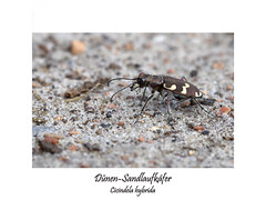 Insektenmakro (ernst.ruhe) Tags: käfer coleoptera insektenmakro insecta insekten dünensandlaufkäfer cicendelahybrida sandlaufkäfer makro