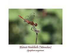Insektenmakro (ernst.ruhe) Tags: libelle libellen grosslibellen sympetrumsanguineum blutroteheidelibelle heidelibelle segellibellen libellula libellulidae insektenmakro insecta insekten