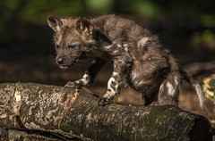 We Love the Pups -7 (tiger3663) Tags: painted dog pup yorkshire wildlife park