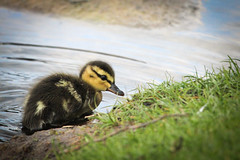 New World (Agne Barde) Tags: duck duckling fauna anatidae lake water waterbird nature wildbird vilnius closeup
