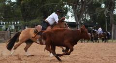 Mandando corda (Eduardo Amorim) Tags: gaúcho gaúchos gaucho gauchos campeiro campeiros cavalos caballos horses chevaux cavalli pferde caballo horse cheval cavallo pferd gado ganado cattle bétail bestiami vieh vaca cow vache mucca kuh boi buey ox boeuf mue rind vacas cows vaches mucche kühe bois bueyes oxen boeufs buoi rinder pampa campanha fronteira jaguarão riograndedosul brazil brésil brasil sudamérica südamerika suramérica américadosul southamerica amériquedusud americameridionale américadelsur americadelsud cavalo 馬 حصان 马 лошадь laço lasso lazo