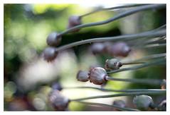Papaver somniferum (leo.roos) Tags: bokeh natur poppi rond bokhnatur cosina poppy opium cv klaproos papaver leicam mmount darosa voigtlander3514 nokton3514 leoroos a7rii voigtlandernoktonclassicsc35mmf14vm