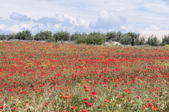 A colorful new week (Irina1010) Tags: field landscape wildflowers poppies perspective clouds colorful beautiful nature canon outstandingromanianphotographers