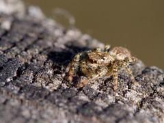 Araignée sauteuse (marpissa muscosa) femelle (pierre.pruvot2) Tags: france pasdecalais maraisdeguînes chemindestêtards panasonic lumixg9 olympus60mmmacro macro arachnide saltique araignée jumpingspider