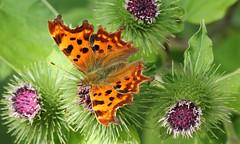 Polygonia c-album (jon. moore) Tags: denhamcountrypark buckinghamshire comma lepidoptera polygoniacalbum nymphalidae