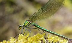 Calopteryx splendens (jon. moore) Tags: denhamcountrypark buckinghamshire bandeddemoiselle calopteryxsplendens zygoptera odonata calopterygidae