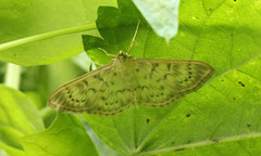 Patania ruralis (jon. moore) Tags: denhamcountrypark buckinghamshire crambidae lepidoptera motherofpearl pataniaruralis