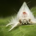 Another Fluffy Moth