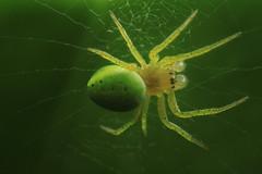 À contre-jour (Didier Auberget Photographie) Tags: macro arthropoda arthropode chelicerata chélicérate chélicéré arachnida arachnide araneae aranéide araneomorphae aranéomorphe araneidae araniella araignée spider araniellacucurbitina épeireconcombre araignéecourge cucumbergreenorbspider cucumbergreenspider cucumberspider àcontrejour contrejour