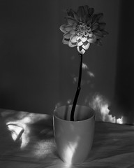 First Light (Tim Roper) Tags: 4x5 film flowers hc110 hp5 fujinon 135mm large format blackandwhite analog ilford