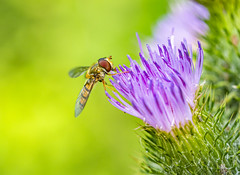 Hoverfly & Thistle (Ian M Bentley) Tags: pink thistle lakes milkthistle silybummarianum stanwick stanwicklakes rockinghamforesttrust uk england flower color colour macro colors insect fly northampton europe colours dof outdoor july olympus depthoffield handheld flowering crown mimic purpleflower hoverfly boken omd 120mm wellingborough syrphidae flyinginsect rushden primelens northmptonshire olympusmacrolens olympus60mm zuiko60mm em1ii