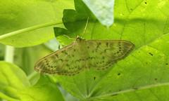 Patania ruralis (jon. moore) Tags: denhamcountrypark buckinghamshire motherofpearl pataniaruralis lepidoptera crambidae