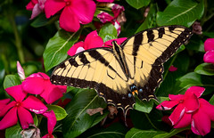 Swallowtail Butterfly (NeilCastle) Tags: northcarolina cary bugs bug insect backyard butterfly swallowtailbutterfly