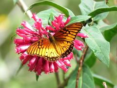 La Dione moneta, conocida como Pasionaria Mexicana es una de esas especies migratorias que disfrutarás por partida doble. Ambos lados de sus alas son muy bellos y vistosos y parecería una especie diferente si no lo notas. (cirestrepo) Tags: pasionariamexicana mexicansilverspot monetalongwing dionemoneta mariposa mariposas mariposascolombia mariposascolombianas mariposasdecolores mariposasandes mariposasdeamérica mariposasdesuramérica butterflies butterfly colombianbutterfly andeanbutterfly butterfliesoftheandes butterflywatching butterflyattraction butterflylovers backyardbutterflies butterflybasics tropicalbutterflies nymphalidae heliconiinae mariposapasionariamexicana mexicansilverspotbutterfly monetalongwingbutterfly