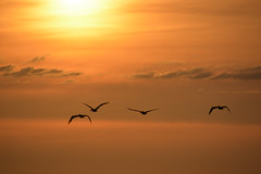 Pelicans (StateMaryland) Tags: sunrise bird flight cloud sun flock anthony burrows worcester eastern 2019 nature sky